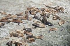 Seelöwen in der Valdes-Halbinsel Stockfoto
