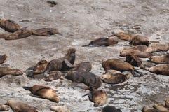 Seelöwen in der Valdes-Halbinsel Stockbilder
