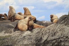 Seelöwen, die auf Belle Chain Islands, BC sich aalen Stockfotografie