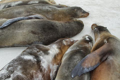 Seelöwen, die auf dem Sand stillstehen lizenzfreies stockbild