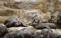 Seelöwen, die auf den Felsen sich aalen Lizenzfreies Stockfoto
