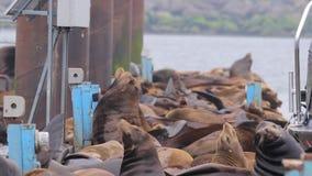 Seelöwen, die auf ein Dock legen stock video