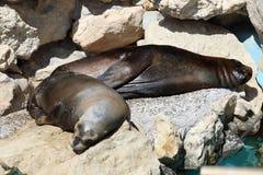 Seelöwen, die auf Felsen schlafen Lizenzfreie Stockfotografie
