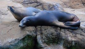 Seelöwen, die in der Sonne sich aalen Stockfotos