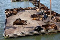Seelöwen, die an einem Jachthafen in Astoria Oregon sich aalen. Lizenzfreies Stockbild