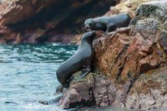 Seelöwen, die für einen Felsen in der peruanischen Küste bei Ballestas kämpfen Lizenzfreies Stockbild