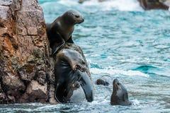Seelöwen, die für einen Felsen in der peruanischen Küste bei Ballestas kämpfen Lizenzfreie Stockfotos