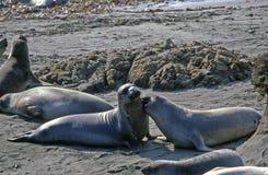 Seelöwen, die freundlich erhalten Lizenzfreie Stockfotografie
