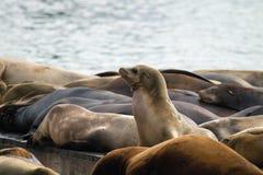 Seelöwen, die Lastkahn-Pier 39 San Francisco sonnen Lizenzfreies Stockfoto