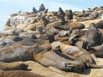 Seelöwen, die an Mar del Plata-Hafen in Buenos Aires stillstehen stockbilder