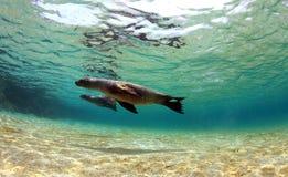 Seelöwen, die unter Wasser schwimmen Lizenzfreie Stockbilder