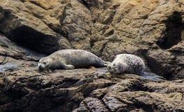 Seelöwen entspannen herein sich Stockfotografie