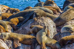 Seelöwen im Ruhezustand Stockbild