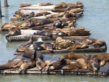 Seelöwen am Kai des Fischers in San Francisco Stockbild