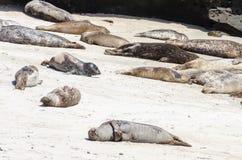 Seelöwen nehmen auf einem Hügel in La Jolla Kalifornien auf dem Strandsand ein Sonnenbad stockfotografie