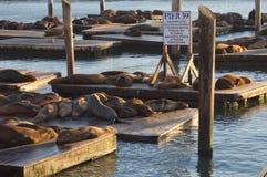 Seelöwen an Pier 39 Stockfotografie