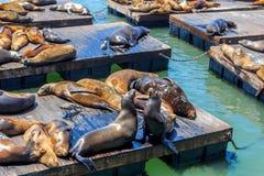 Seelöwen an Pier 39 in San Francisco! lizenzfreies stockbild