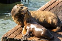 Seelöwen am Pier 39 San Francisco, Kalifornien Lizenzfreie Stockfotografie