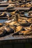 Seelöwen am Pier 39 San Francisco, Kalifornien stockbild