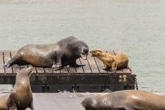 Seelöwen in San Francisco Stockfotos