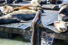 Seelöwen in San Francisco lizenzfreie stockbilder