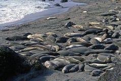 Seelöwen, welche die Strahlen einlassen Stockfoto