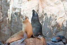 """Seelöwepaare auf La Lobera-""""the Wölfe Lairâ€-, welches die Seelöwenkolonie an Los Arcos an den Ländern beenden in Cabo San Luc Stockfoto"""