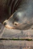 Seelöweporträt Stockbild