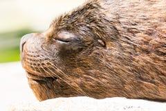 Seelöweporträt Lizenzfreie Stockfotos