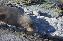 Seelöweschlaf neben einer Straße Lizenzfreies Stockfoto