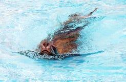 Seelöweschwimmen im Wasserpark Stockfotos