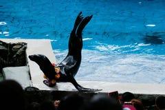 Seelöweshow am Aquarium stockfotos