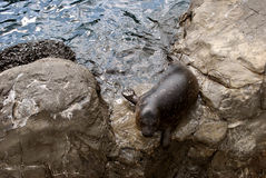Seelöwewelpe, der auf den Felsen sich aalt Stockfotos