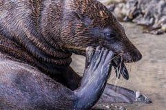 Seel knackendes Oberteil und Essen einer Miesmuschel stockfoto