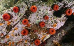 Seeleben-Perlenanemone Actinia equina Unterwasser Stockfotografie