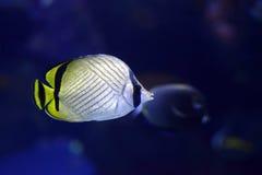 Seeleben Vagabund-Schmetterlingsfische Chaetodon-vagabundus innerhalb des Aquariums Lizenzfreie Stockfotos