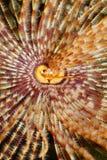 Seelebenkopf eines ausgezeichneten Federstaubtuchwurmes Stockfoto