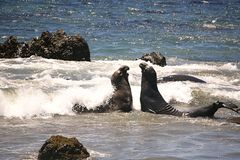 Seelefanten Lizenzfreies Stockfoto