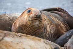 Seelefanten alles zusammen mausern ihre Haut in der Antarktis Lizenzfreies Stockfoto