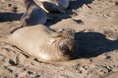 Seelefanten auf Strand in Kalifornien USA Stockbilder