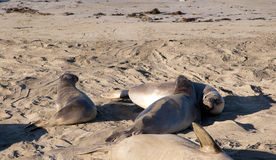 Seelefanten auf Strand in Kalifornien USA Stockbild