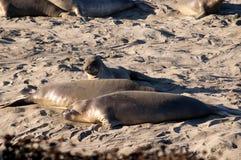 Seelefanten auf Strand in Kalifornien USA Lizenzfreie Stockfotografie