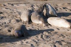 Seelefanten auf Strand in Kalifornien USA Lizenzfreie Stockfotos
