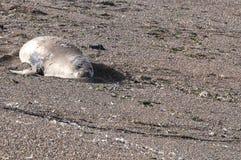 Seelefanten in der Valdes-Halbinsel Lizenzfreie Stockbilder