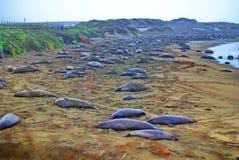 Seelefanten Kalifornien Lizenzfreies Stockbild