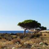 Seelilien, Kiefern, Meer, am sonnigen Tag Stockfoto