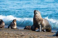 Seelöwe auf dem Strand im Patagonia Stockfotos