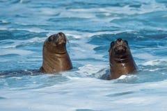 Seelöwe auf dem Strand im Patagonia Lizenzfreies Stockbild