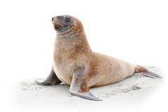 Seelöwe auf Strand Stockbilder