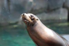 Seelöwe mit Wasser, das weg sprüht, wie er rüttelt Lizenzfreie Stockbilder